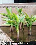 Typhonodorum lindleyanum
