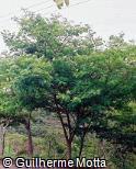 Piptadenia gonoacantha