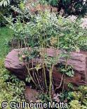 Acanthus montanus