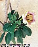 Solandra grandiflora