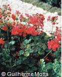 Pelargonium x hortorum ´Dark Red´