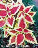 Plectranthus scutellarioides ´Defiance´