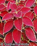 Plectranthus scutellarioides ´Red Coat´