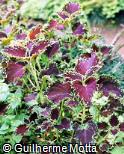 Plectranthus scutellarioides ´Black Magic´