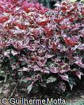 Plectranthus scutellarioides ´Careless Love´