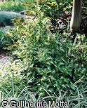Plectranthus scutellarioides ´Dappled Dawn´