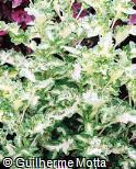 Plectranthus scutellarioides ´Flapdoodle´