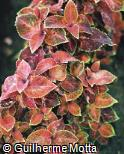 Plectranthus scutellarioides ´Rustic Orange´