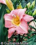 Hemerocallis  ´Velvet Rose´