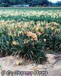 Hemerocallis x hybrida ´Alessandra´