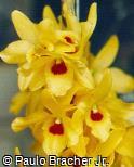 Dendrobium x thwaitesiae