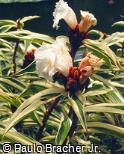 Cheilocostus speciosus ´Variegata´