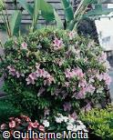 Rhododendron yedoense
