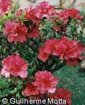 Rhododendron simsii ´Ernest Thiers´