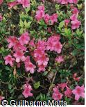 Rhododendron  ´Wombat´