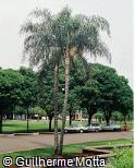 Syagrus oleracea