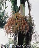 Archontophoenix cunninghamiana