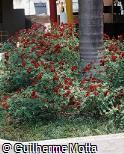 Rosa x grandiflora ´Brown Velvet´