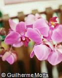Phalaenopsis  ´Helle´