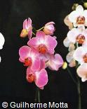 Phalaenopsis  ´Lipperose´