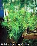 Cyperus papyrus ´Nana´