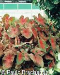 Caladium bicolor ´Mrs. Arno Nehrling´