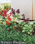 Salvia splendens ´Sizzler´