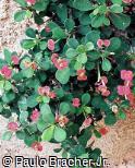 Euphorbia milii ´Imperatae´