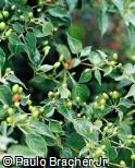 Capsicum baccatum var. baccatum