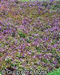 Torenia fournieri