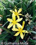 Zephyranthes flavissima