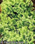 Juniperus squamata ´Dream Joy´
