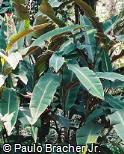 Heliconia subulata ´Africa´
