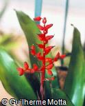 Aechmea miniata ´Royal Wine´