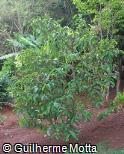Psidium friedrichsthalianum