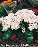 Kalanchoe blossfeldiana ´Calandiva White Rose´