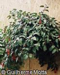 Fuchsia × hybrida ´Display´