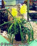 Cymbidium  ´Sleeping Nymph´