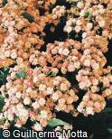 Kalanchoe blossfeldiana ´Calandiva Greco´