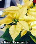 Euphorbia pulcherrima ´Lemon Drop´