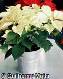 Euphorbia pulcherrima ´Cristallo´
