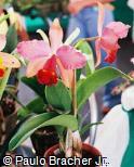 Cattleya × hybrida