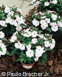 Impatiens hawkeri ´Blush Pink Improved´