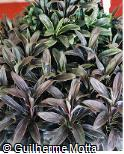 Cordyline fruticosa ´Moonlight´