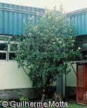 Hibiscus rosa-sinensis ´Highbrow´