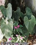 Anthurium foreroanum