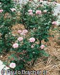 Rosa chinensis ´Jean Mermoz´