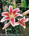 Lilium speciosum ´Stargazer´