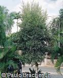 Melaleuca leucadendra