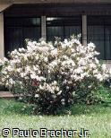 Rhododendron  ´Mrs. G. G. Gerbing´